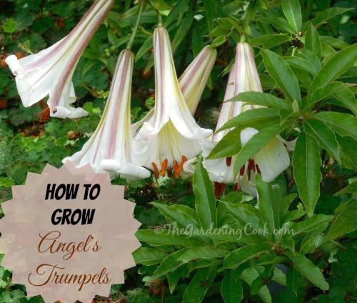 How to grow angel's trumpets: thegardeningcook.com/grow-angels-trumpet-brugmansia