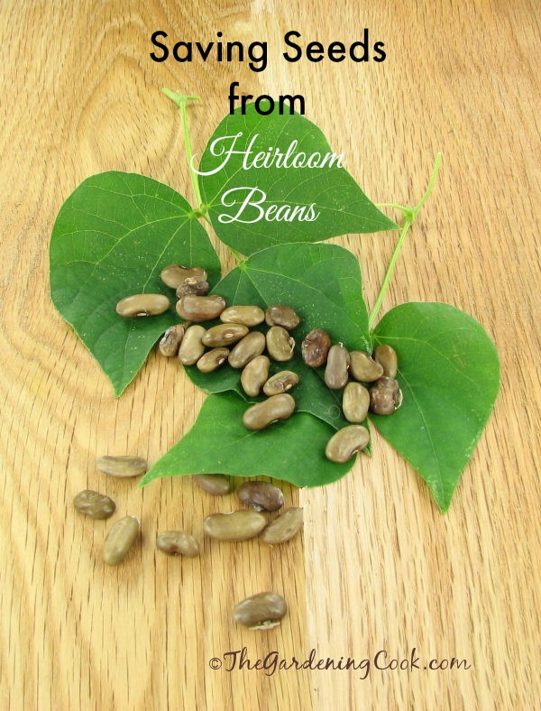 Saving seeds from heirloom bean plants is easy if you just follow a few steps. Find out how to do it: the gardeningcook.com/saving-heirloom-beans-seeds