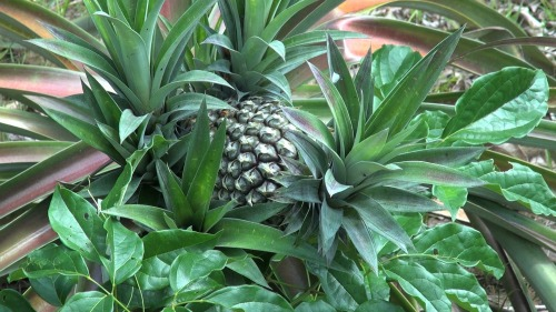 Amazon pineapple