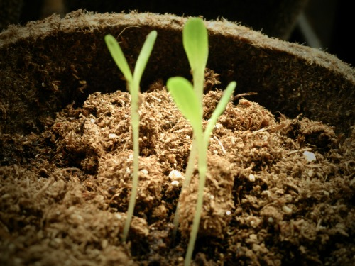 seedlings need light