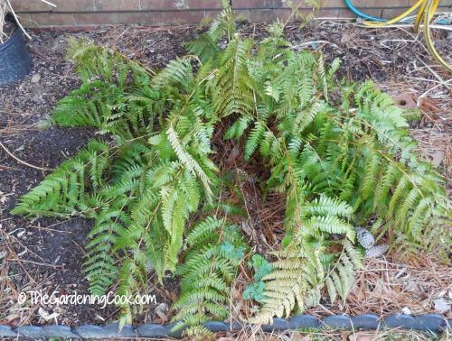 Ever green fern