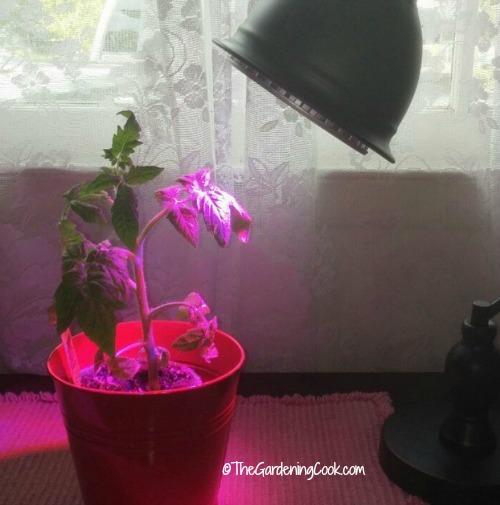 tomato-plant-under-grow-light