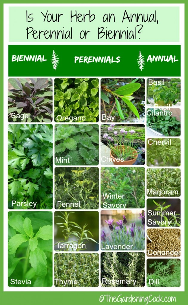 Is your herb an annual, perennial or biennial? This handy chart will tell you everyting you need to know about fresh herbs.