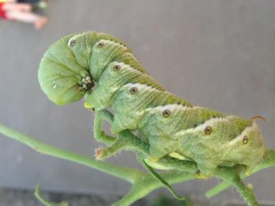 hornworm caterpillars can devastate a tomato crop.