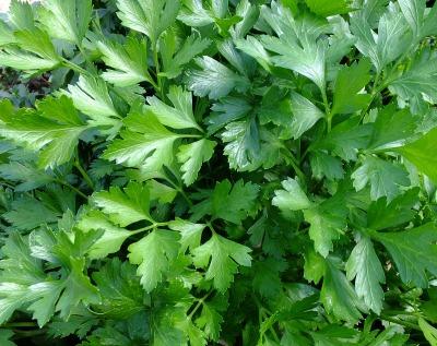 fresh parsley leaves.