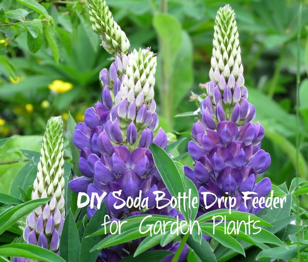DIY Soda Bottle Drip Feeder for Garden Plants