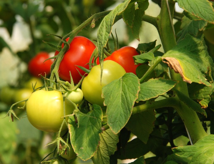 Yellowing leaves on tomato plants can be helped by watering the roots and not the leaves.