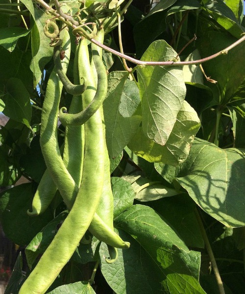 Beans are easy to grow. They love sunlight and many varieties don't need staking.