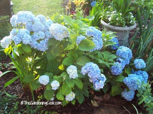 Hudrangeas flourish if you thin them out when you prune