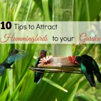 Tips to attract hummingbirds to your garden