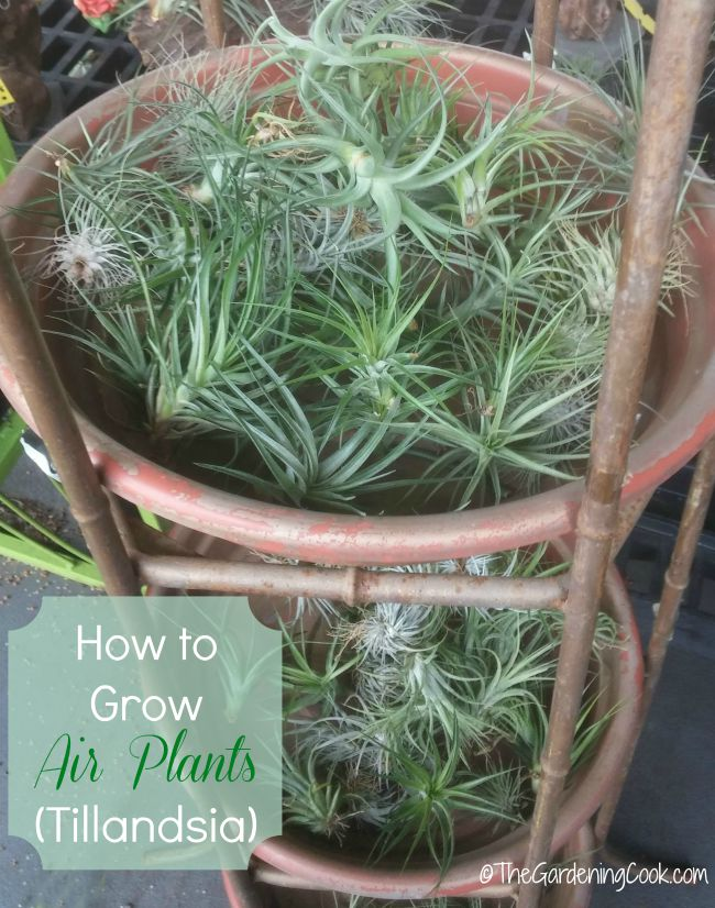 tips for growing air plants how to care for tillandsia. Black Bedroom Furniture Sets. Home Design Ideas