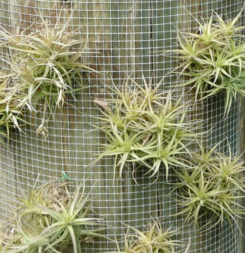Air plant on wire