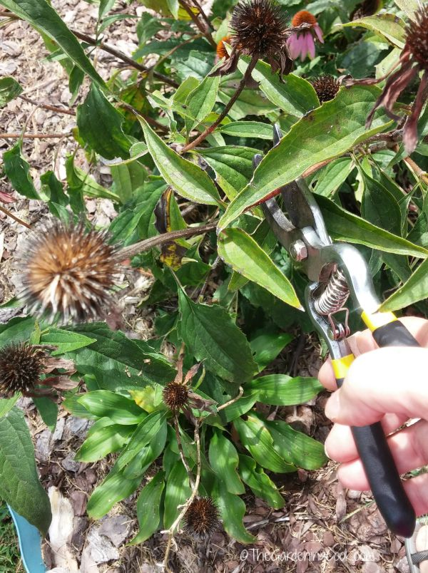Dead heading keeps the size of perennials in check