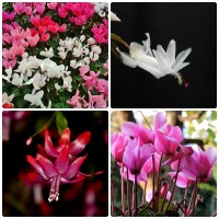 Cyclamens and Christmas Cactus