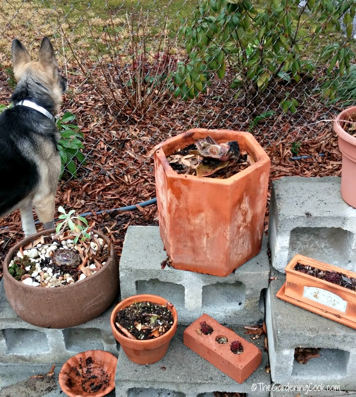 Clean up clay pots in early spring