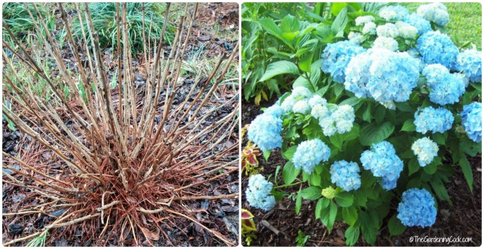 Prune out the dead wood for a gorgeous hydrangea later