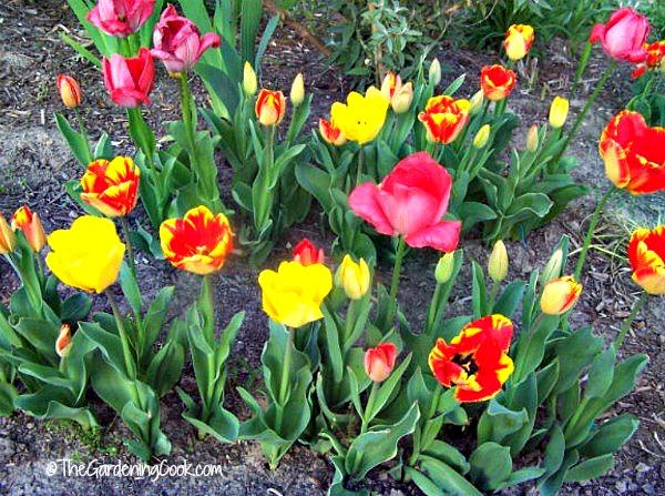 Display of spring bulbs