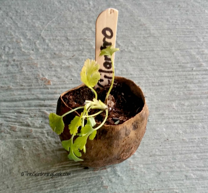 Avocado pit used as a plant pot