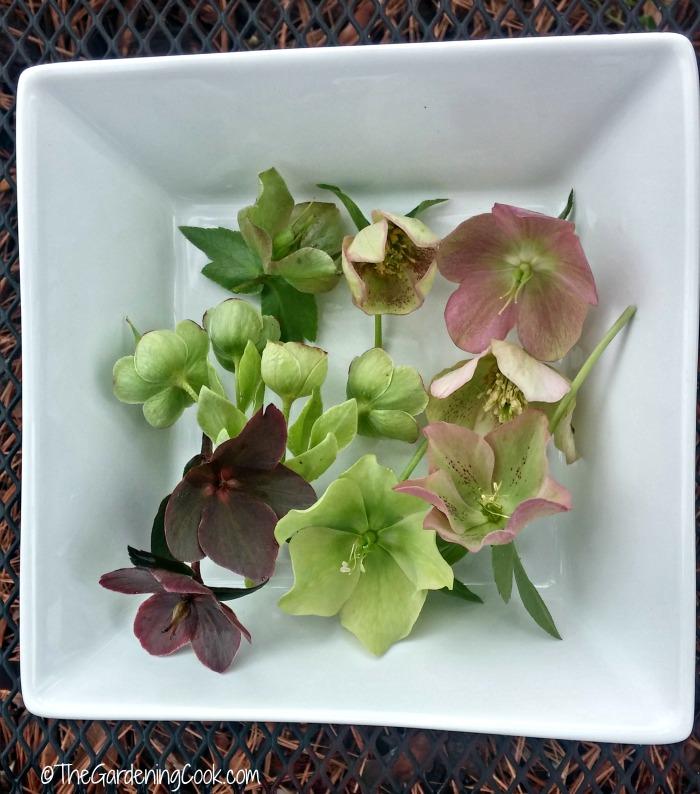 dish of helleborus flowers - Helleborus-Lenten Rose