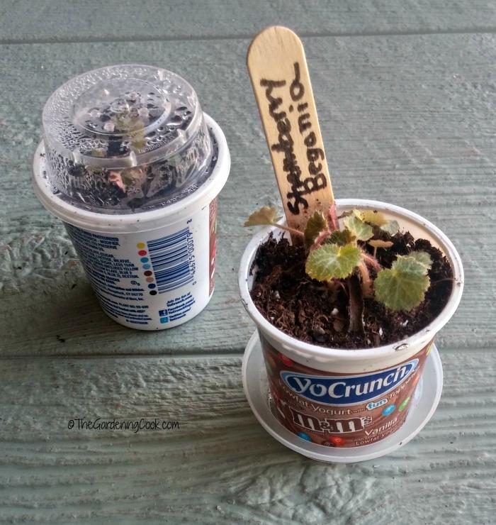 yogurt planting pots