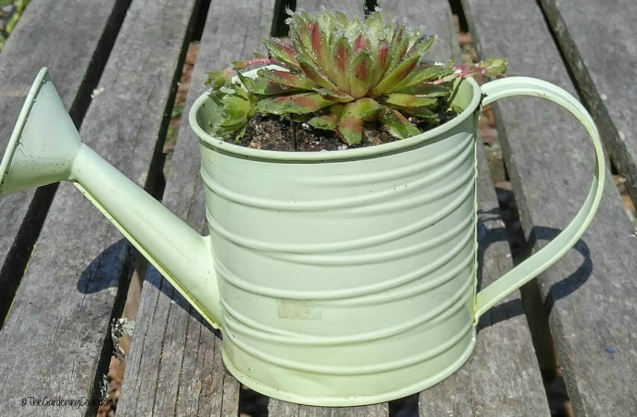Small green watering can with succulents