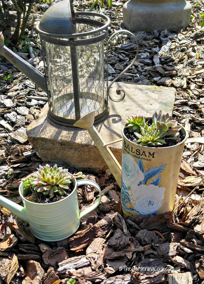Watering can with succulents
