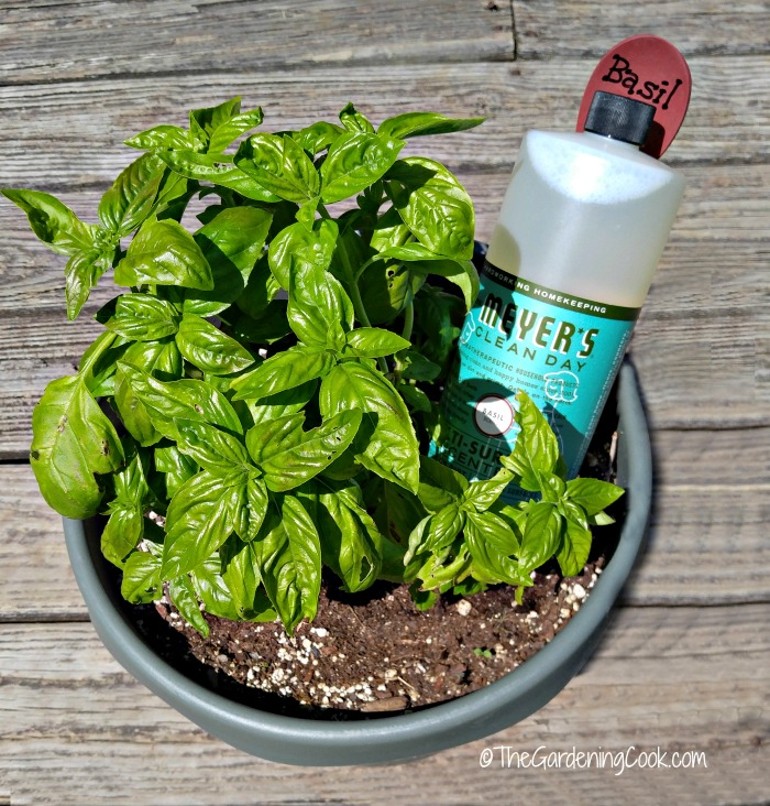 Basil plant and Mrs Meyers Basil cleaner