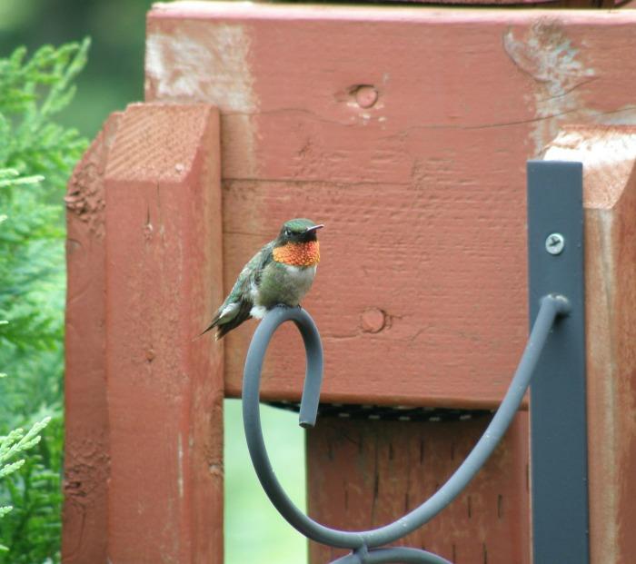 Cómo atraer a los colibríes a su patio | MNN - Red Madre Naturaleza
