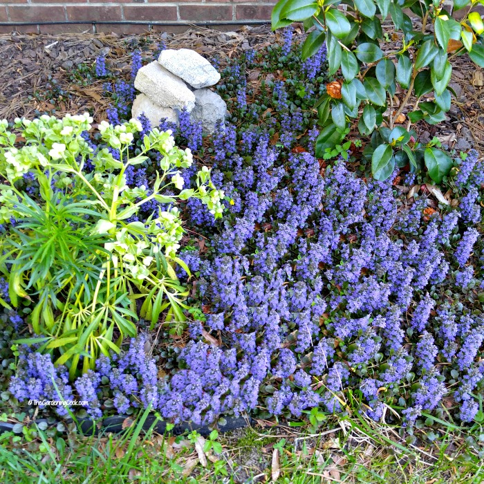 Ajuga - also known as bugleweed, makes a great ground cover
