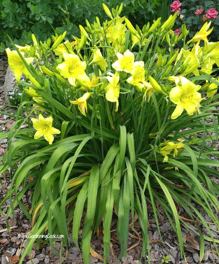 Daylilies are perennial plants that give a magnificent show of color in the garden