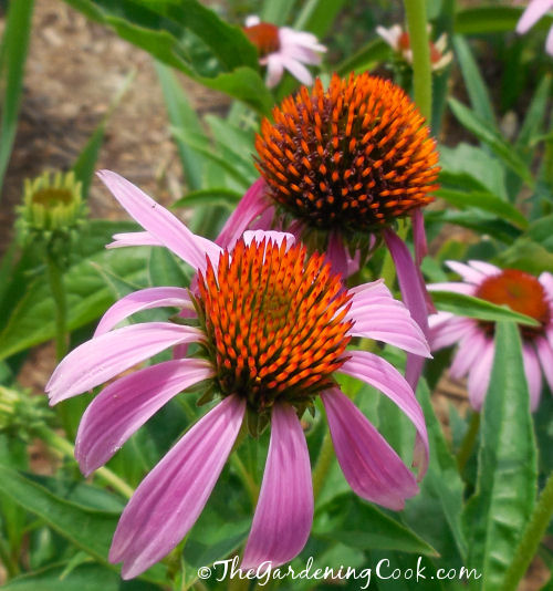Echinachea, or coneflowers, are very popular with the bees and birds.