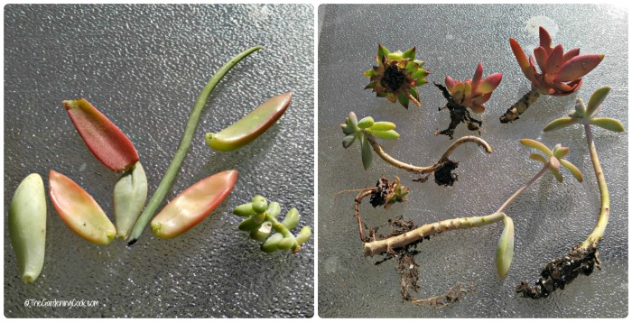 leaves and cuttings of succulents