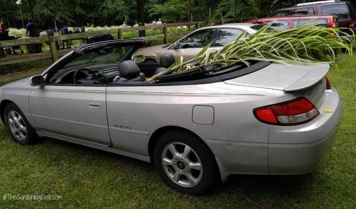 Transporting variegated bamboo.