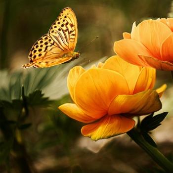Butterflies Category