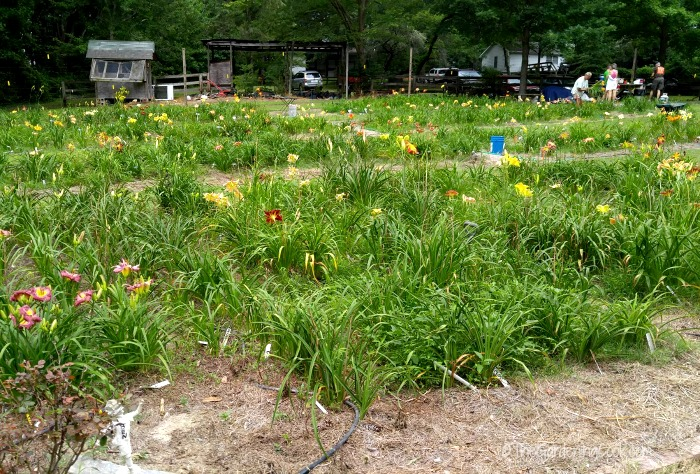 Day trip to the Daylilies of NC