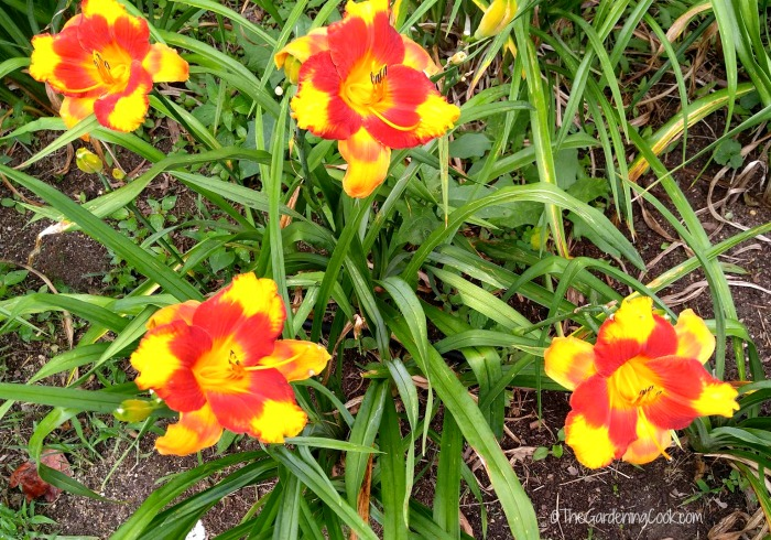Clump of huge nourse daylilies