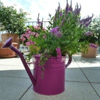 Spray and old watering can purple and plant with pretty flowers for easy garden art