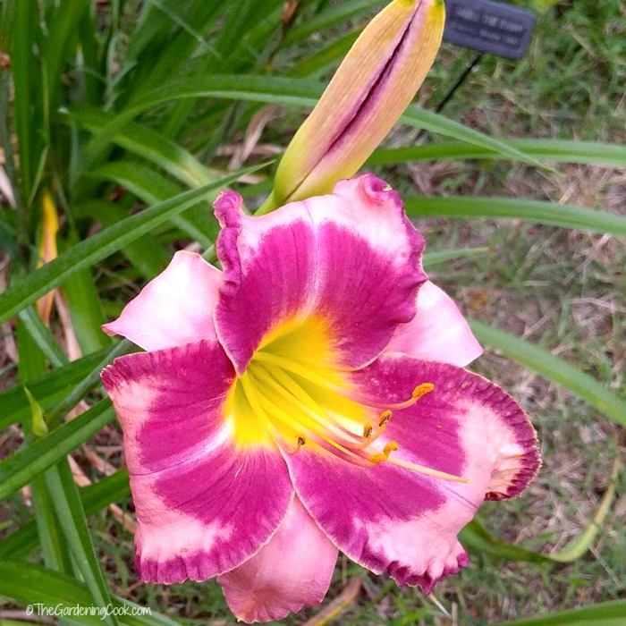Smell the Rain Daylily