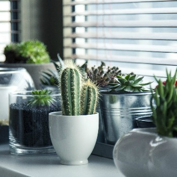 Succulents - Cacti Category