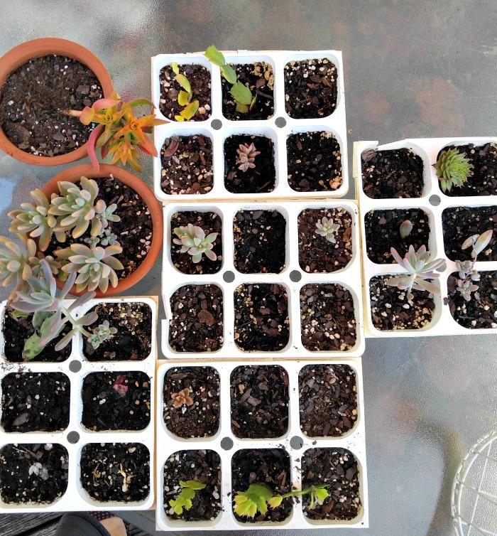 leaf cuttings make great plants