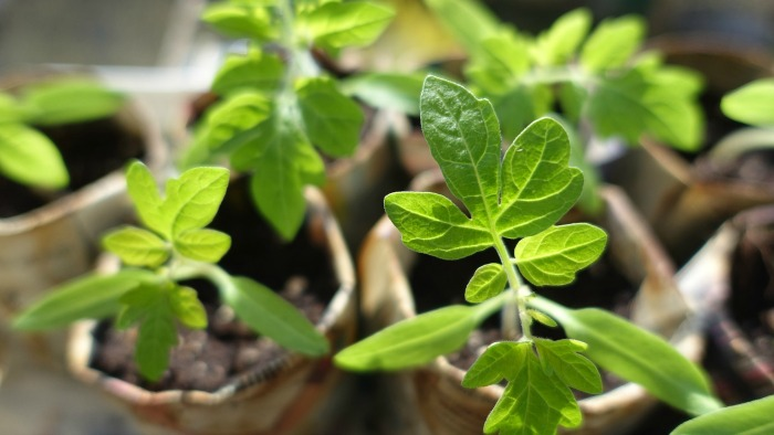 Start tomato seedlings indoors for an early crop next year.