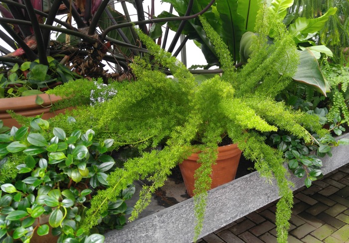 Asparagus fern in the conservatory at Biltmore Gardens