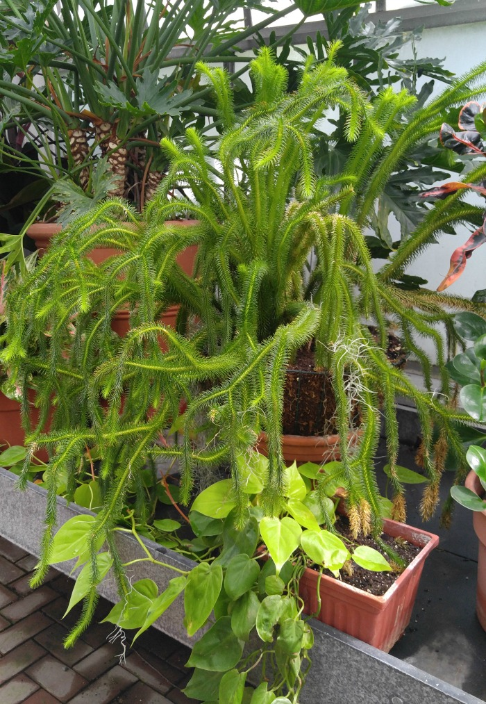 Ferns in the conservatory at Biltmore Gardens