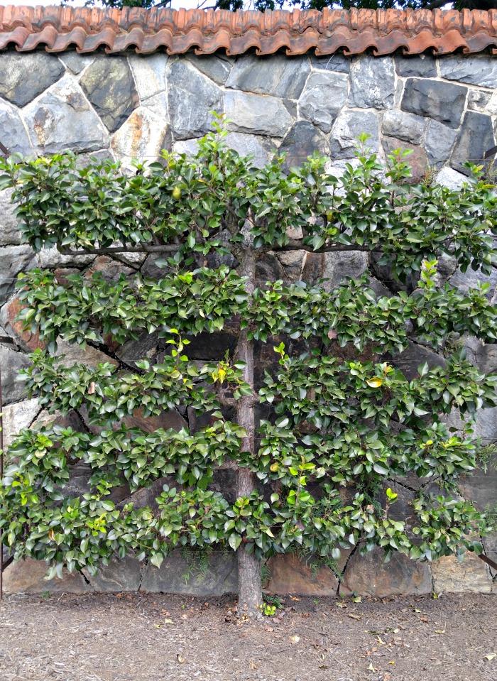 Pear Tree on a walk at Biltmore Estates