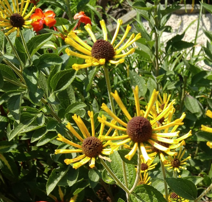 Yellow Spiked coneflower in the gardens of Biltmore