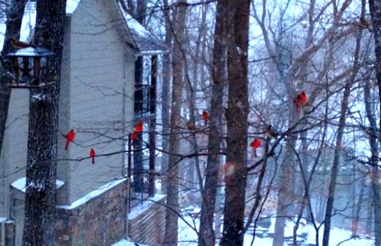 Cardinals in the trees in winter in Grand Lake Oklahoma.