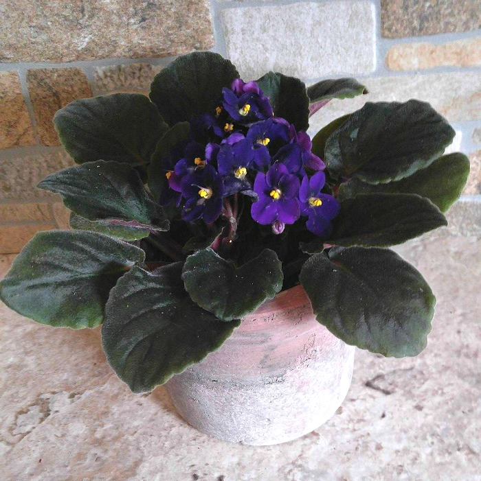 African Violets Tips For This Popular Indoor Flowering Plant