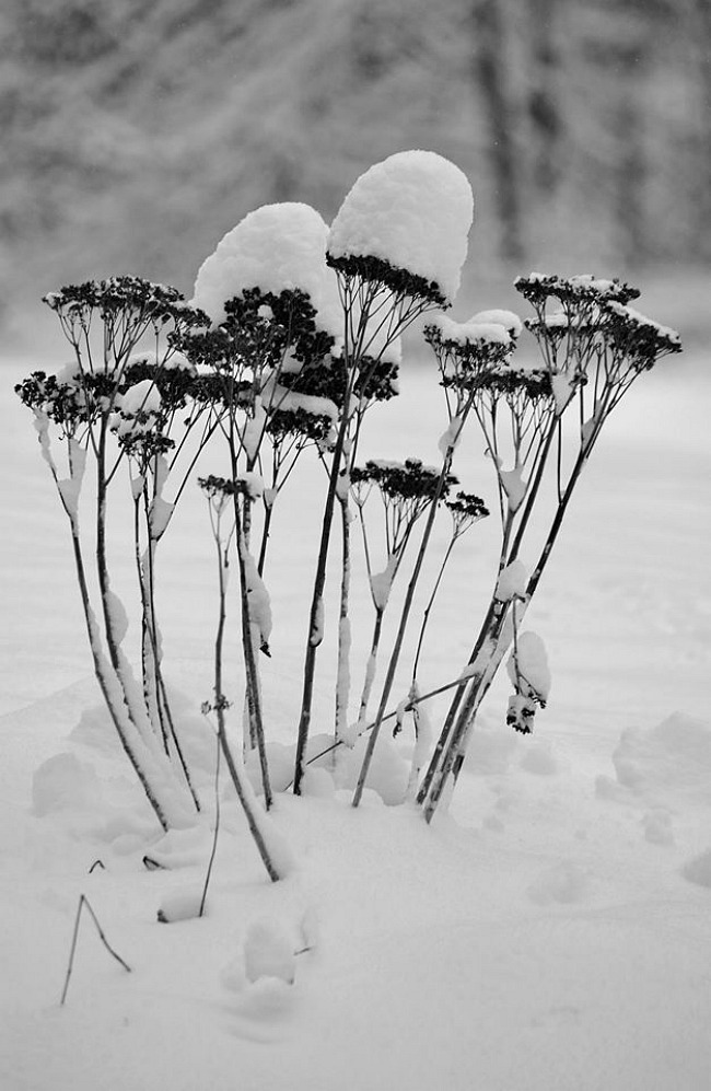 Seed pods covered in snow in Northwest Connecticul