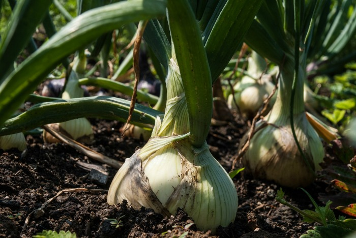 Onions are part of the allium family