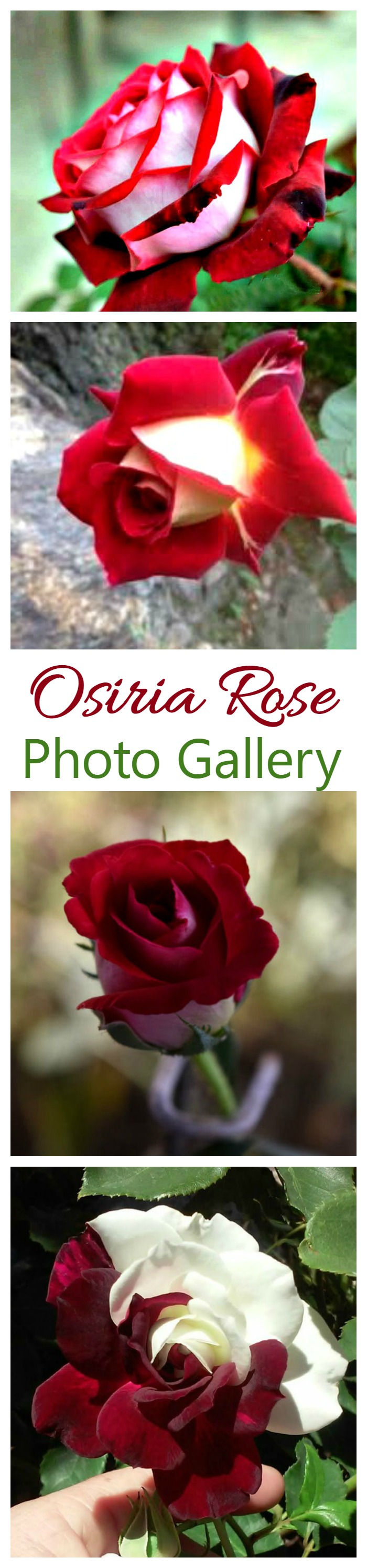 Osiria Rose is a hard to grow and VERY hard to find rose. I have started an Osiria Rose Photo Gallery on my site. If you have grown the rose, please share you photo for my readers.